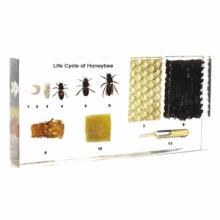 HONEYBEE SPECIMEN LIFE CYCLE IN CLEAR LUCITE #39669v2