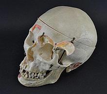 anatomical human skull