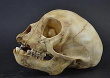 Skull - Vervet monkey (Chlorocebus aethiops)