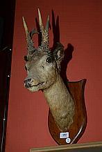 TAXIDERMY: Two roebuck heads mounted on oak shields.