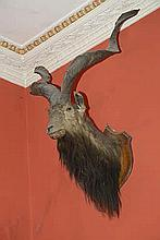 TAXIDERMY: A mountain goat's head, a fine specimen, mounted on a shield.