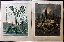 Thornton, Dr Robert John 1812 Pair of Botanical Prints from the 4to Edition of the Temple of Flora