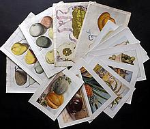 Fruit 1646-C1920 Lot of 15 Botanical Prints by Ferrari, Knoop, Wright and Encyclopedia of Food.