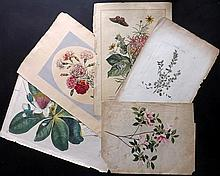 Botanical Prints 18th Century, Group of 4 by Redoute, Miller, Ehret, Edwards. Together with original watercolour.