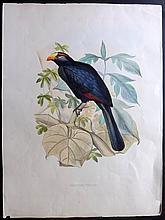 Schlegel, Hermann & Westerman, Gerardus Frederik 1860 Large, Rare Bird Print of a Turaco