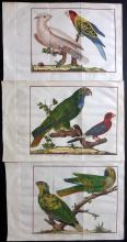Martinet, Francois & Brisson, Mathurin Jacques 1760 Group of 3 Hand Coloured Bird Prints of Parrots