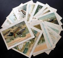 Naumann, Johann C1890's Lot of 23 Folio Bird Prints after Keulemans et al.