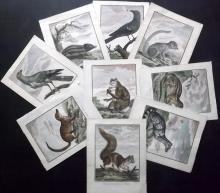 Sonnerat, Pierre 1782 Lot of 9 Hand Coloured Animals & Bird Prints