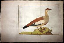 Brisson, Jacques & Martinet, Francois-Nicolas C1760 Hand Coloured Bird Print. Egyptian Goose