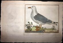 Brisson, Jacques & Martinet, Francois-Nicolas C1760 Hand Coloured Bird Print. Gull