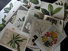 L'Illustration Horticole C1870's Lot of 25 Botanical Prints