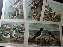 Naumann, Johann C1900 Lot of 22 Folio Bird Prints