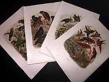 Reichenow, Anton C1880 Collection of 4 Prints of Parrots
