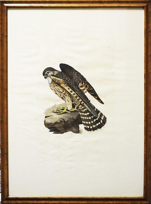 John Prideaux Selby, (1788-1867), Pair: Merlin Male / Female, hand colored bird engravings, Plate; 16 1/2