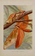 Giant Swift Moth (family of Hepialidae), Original Chromolithograph, C. 1880
