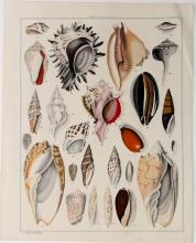Shell Variety Original Antique Lithograph, c. 1840