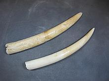Probably walrus pair of tusks
