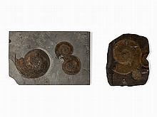 2 Fossil Ammonite Slabs, Posidonia Shale, Holzmaden, Jurassic