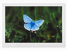 Damien Hirst, Love Prints Adonis Blue Butterfly, Giclée, 2011