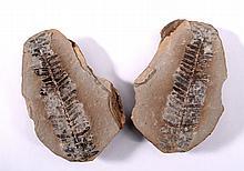Fossile Pflanze, Pecopteris mazoniana, USA