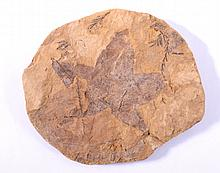 Fossile Pflanze, Tschechien