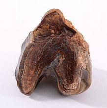 Fossiler Zahn, Nashorn - Oberkiefer, Deutschland
