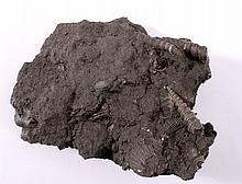 Fossile Schnecke, Österreich, Turitella und Terebralia