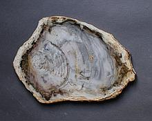 Versteinertes Holz, Wurzelholz
