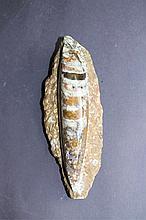 Fossilien Platte Orthoceras - Kopffüßler