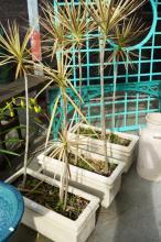 3 mature plants in trough planters