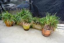 5 various pot plants incl. 2 trough planters complete with plants