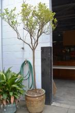 Citrus tree in a plant pot, overall height approx. 2.4 metres