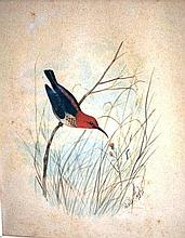Neville Cayley, watercolour 'Honey eater and