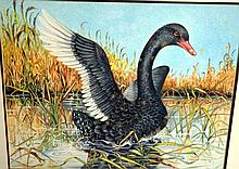 Charles Newman, watercolour of a black swan in