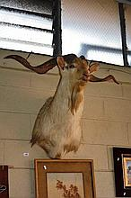 Taxidermy: large mountain goat head, twisted horns