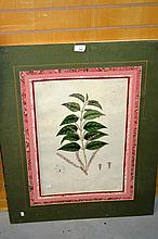 Antique coloured engraving, botanical study,