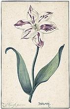 Blijhooft, Zacharias Jacques: Studie einer Viceroy Tulpe