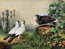 Cheverton White (19th Century) - Watercolour - Study of three fancy pigeons in a landscape, 17.5ins x 22.25ins, signed in red and dated 1869 (unframed)