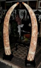 Pair of  Bone Horns, excellent carving, Tusk shaped