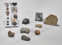 Collection of 20 Trilobite Fossils