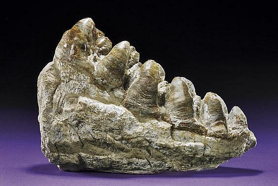 PLATYBELODON TOOTH