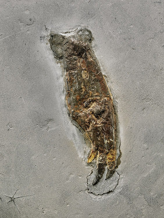 RARE FOSSIL SQUID