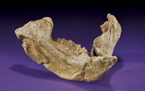 DINOSAUR MANDIBLE