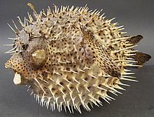 TAXIDERMY PORCUPINE BLOWFISH.  Fully extended.  17