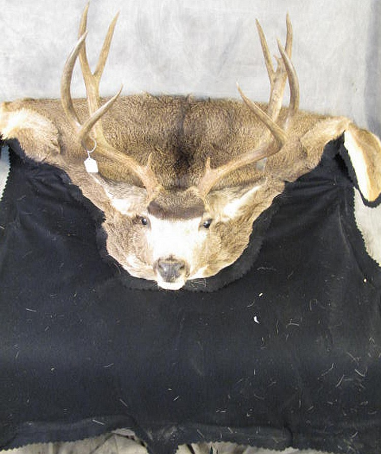 WHITE TAIL DEER HEAD MOUNT WITH FULL CAPE AND