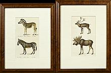 Two Colored German Prints, 19th c., one of two zebras, one of two moose, presented in identical frames, H.- 10 in., W.- 6 in.