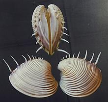 Bela Kalman (1921-2011) Shells, 2004