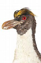 SPECIMEN NATURALISE  Manchot à aigrettes dit Gorpou se distinguant par ses plumes  formant des sourcils.  H. : 48 cm.