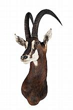 Trophée de chasse  Tête hippotrague noir collectée en Zambie en 1985.  H. : 120 cm.