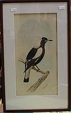 Neville Cayley ( 1886-1950) Magpie watercolour